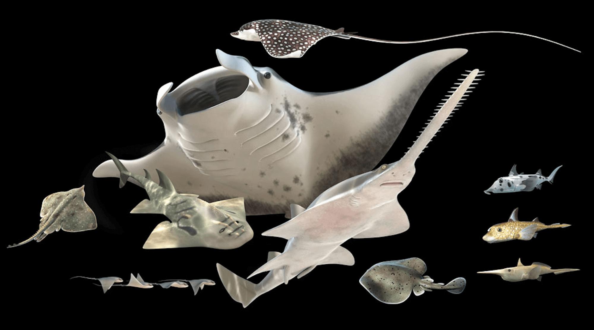 Flat Shark by Barry Croucher